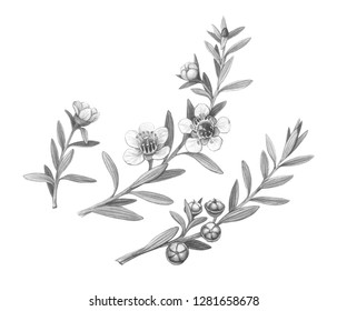 Manuka Branches with Flowers and Fruit Pencil Illustration Isolated on White