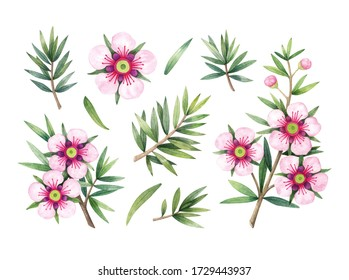 Manuka Honey branch, leaves and flower. Hand drawn watercolor illustration isolated on white background.