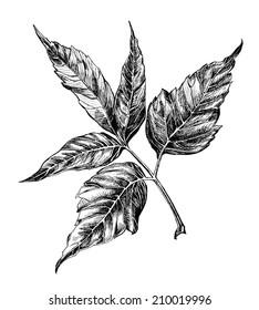 maple leaf. Ash-leaf Maple