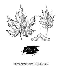 Maple leaves and seed drawing set. Autumn elements. Hand drawn detailed botanical illustration. Vintage fall seasonal decor. Great for label, sign, icon, seasonal decor
