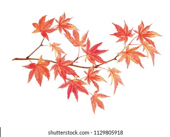 Maple leaves watercolor painting on white background