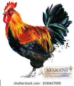 Marans Rooster. Poultry farming. Chicken breeds series. domestic farm bird
