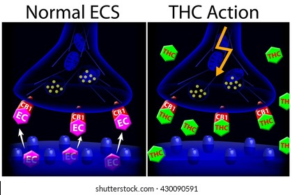 Marijuana (THC) action on ECS synapse.