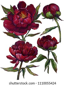 the maroon peonies illustration on a white background , a set of peonies, a burgundy series of flowers, burgundy flowers, red flowers. hand drawn illustration