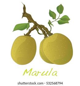 Marula fruit.  Illustration isolated