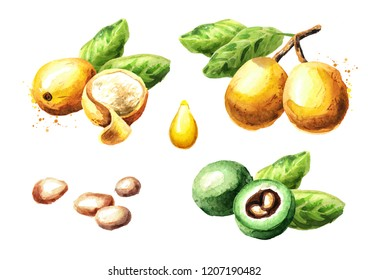 Marula fruit and kernel set. Watercolor hand drawn illustration  isolated on white background