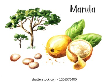 Marula tree, fruit and kernel. Watercolor hand drawn illustration, isolated on white background