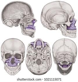 the maxilla bone of the cranium the bones of the head skull the