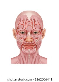 maxillary artery and  facial artery