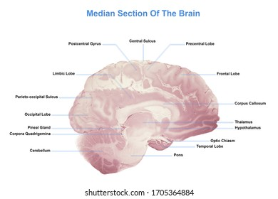 Median Section Of The Brain, Anatomy Of The Human Brain, 3d rendering