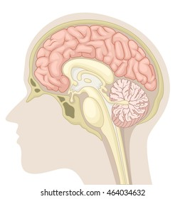 Median section of human brain
