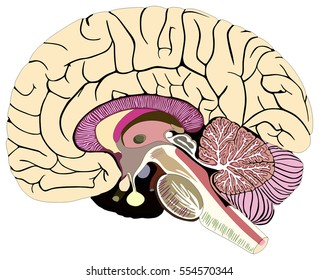 Median Section of Human Brain Anatomical structure diagram chart  with all parts cerebellum thalamus, hypothalamus lobes, central sulcus medulla oblongata pons pineal gland figure