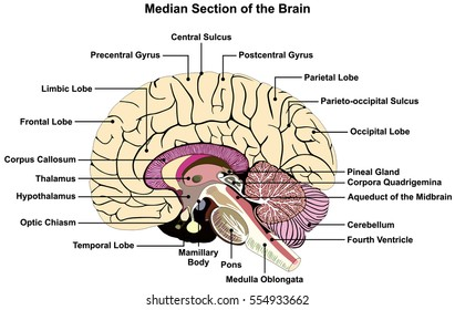 human brain diagram side view parts stock photo (edit now) 83941303median section of human brain anatomical structure diagram infographic chart with all parts cerebellum thalamus,