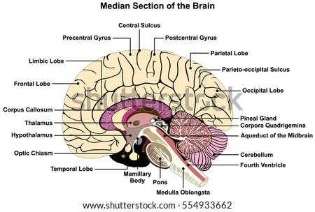 Median Section Human Brain Anatomical Structure Stock Illustration