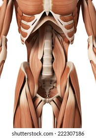 medical 3d illustration of the abdominal muscles