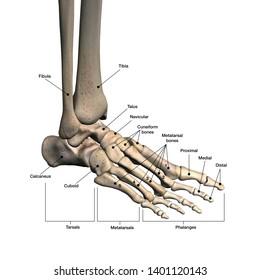 Medical 3D Illustration Foot Bones Labeled