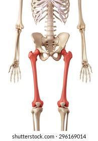 medical accurate illustration of the femur bone