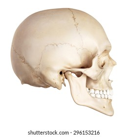 medical accurate illustration of the human skull