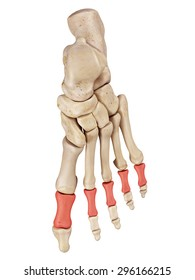 medical accurate illustration of the proximal phalanx bones