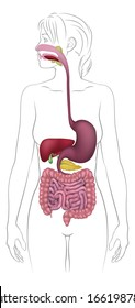 A medical anatomy diagram of a woman showing the human digestive system