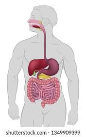 Medical anatomy illustration of  human gastrointestinal digestive system including intestines or gut
