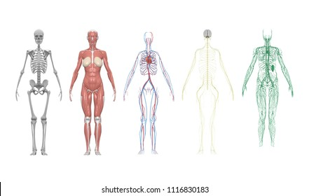 Medical Education Chart of Biology for Human Body Organ System Diagram. 3d illustration with clipping path.