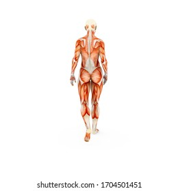 Medical educational muscle system of athletic female human body, back walking view, photorealistic 3D Illustration, isolated on the white background.
