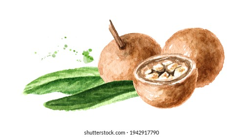 Medical fruit Hydnocarpus anthelminthicus or Chaulmoogra , Watercolor hand drawn illustration, isolated on white background