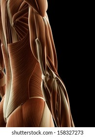 medical illustration of arm muscles