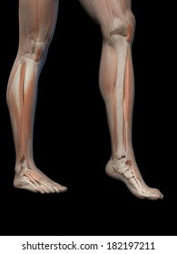 medical illustration of the male leg muscles