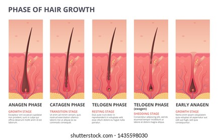 Medical infographic illustrations of hair growth cycle. pictures of human biology. Hair human banner, anatomy root follicle