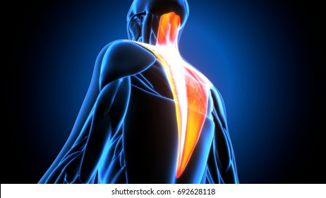 Medical muscle illustration of the trapezius. 3d illustration