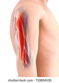 Medical and Scientific Graphic background, Triceps Muscular 3d illustration, Medical concept.
