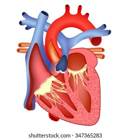 medical structure of the heart anatomy, illustration