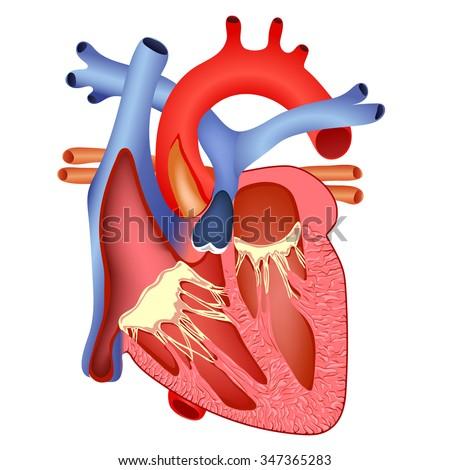 Medical Structure Heart Anatomy Illustration Stock Illustration