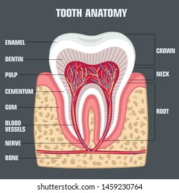 Medical vector Icon dental tooth anatomy. Image structure of tooth. Illustration human tooth anatomy in flat style
