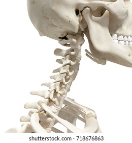 medically accurate 3d rendering of the cervical spine and skull
