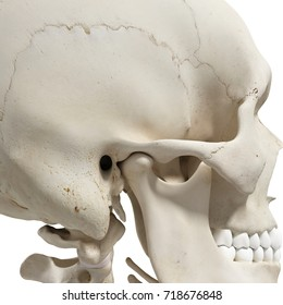medically accurate 3d rendering of the mandible