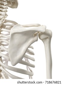 medically accurate 3d rendering of the shoulder bones