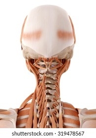 medically accurate anatomy illustration - neck muscles