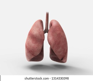 Medically Accurate Healthy Human Lungs Organ Isolated On White Background Respiratory System 3D illustration Front View