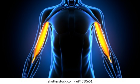 medically accurate illustration of the biceps brachii