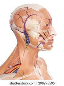 medically accurate illustration of the head anatomy