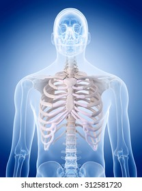 medically accurate illustration of the human skeleton - the rib cage