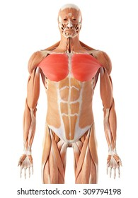 pectoralis major muscle images, stock photos \u0026 vectors shutterstockmedically accurate illustration of the pectoralis major