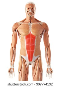 medically accurate illustration of the rectus abdominis