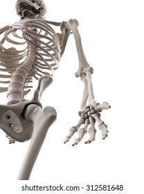 medically accurate illustration of the skeletal system - the arm