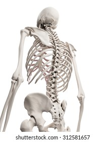 medically accurate illustration of the skeletal system - the thorax
