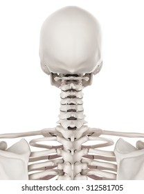 medically accurate illustration of the skeletal system - the cervical spine