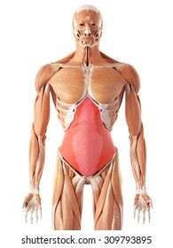 medically accurate illustration of the transversus abdominis